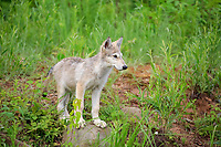 Gray wolf (Canis lupus), young animal in a meadow, Pine County, Minnesota, USA, North America