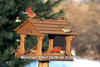 00585-00601  Northern Cardinals (Cardinalis cardinalis) & White-crowned Sparrows at feeder in winter Marion Co.  IL