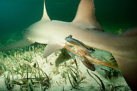 After birth trails from cloaca of lemon shark, Negaprion brevirostris, between live births of pups. Sharksuckers feed on afterbirth, Bimini, Bahamas, Caribbean Sea, Atlantic Ocean