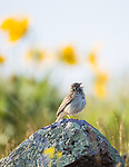 A sparrow on a rock singing in springtime with arrowleaf balsamroot flowers