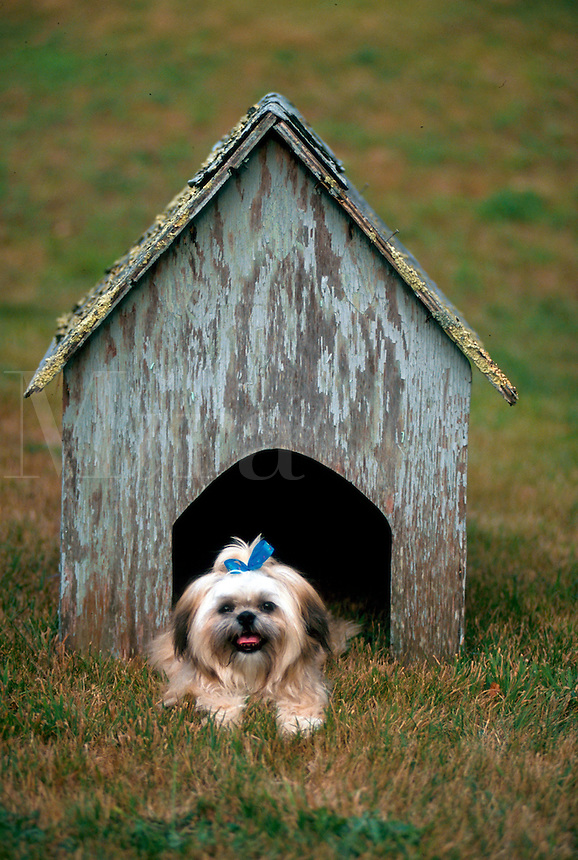 A Shih-tzu peers rests within within a weathered doghouse.