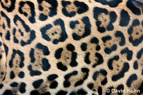 0615-1101  Jaguar, Belize, Panthera onca  © David Kuhn/Dwight Kuhn Photography