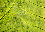 Close up detail of leaf structure, Giant Gunnera, Gunnera manicata, growing wild Trenoweth, near St Keverne, Cornwall, England, UK