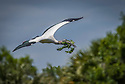 April 19 thru 21 2016 / Jupiter Florida and vicenity / Wood Stork /  Photo by Bob Laramie