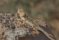414390004 a wild male great basin or desert collared lizard crotaphytus insularis bicinctores sits on a rock outcrop in redding canyon in owens valley inyo county california united states
