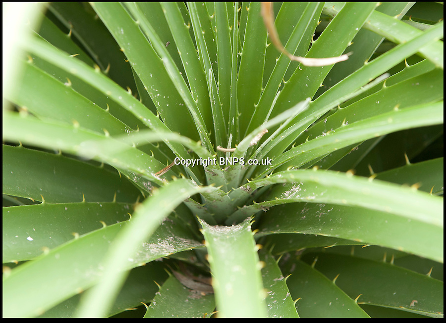 BNPS.co.uk (01202) 558833<br /> Picture: Peter Willows<br /> <br /> The carnivorous Puya plant has extremely sharp leaves that trap rodents and other small animals that dies and provide nutrients in it's natural dry habitat.<br /> <br /> Horticulturists are celebrating after an exotic bromeliad plant that only blooms once in its lifetime has finally burst into flower on the hottest day of the year at the Ventnor Botanic Gardens on the Isle of Wight. The blooms on the spiky Puya berteroniana, is extremely rare to see in the plant world and never seen on a plant grown in the UK. The flowers are expected to last for around three weeks but it will sadly be the first and last time the 6ft tall plant blooms as they die shortly after.<br /> <br /> Normally the plant, which is a relative of the pineapple from the Andes in South America, requires extremely dry conditions to flourish and has waxy, silver coloured spined on its leaves to protect them against sunlight. However, it is a hardy species and can survive in temperatures as low as -7 degrees celcius if kept relatively dry.
