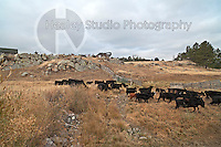 Americana Series: Roadside Views<br /> <br /> Cattle running to cross the road behind us in rural South Dakota.