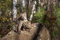 Canada lynx kittens