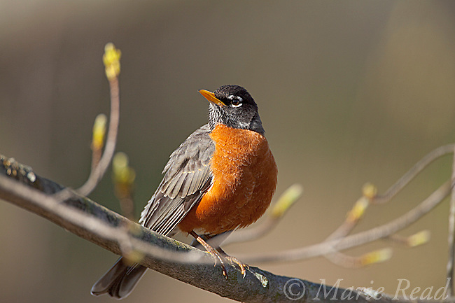American Robin (Turdus migratorius) male in spring, Ithaca, New York, USA