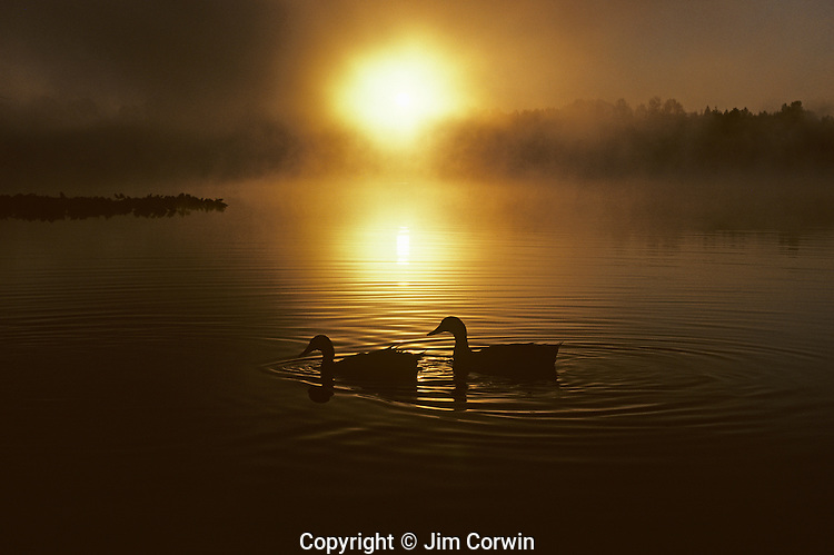 Silhouetted ducks on lake at sunrise with fog Lake Cassidy east of Marysville Snohomish County Washington State USA.