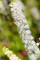 Actaea matsumurae 'White Pearl' in flower