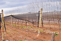 The vineyard with vines protected by net shielding against birds and hail and perhaps the strong winds Bodega Del Fin Del Mundo - The End of the World - Neuquen, Patagonia, Argentina, South America