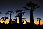Grandidier´s Baobab after sunset (Adansonia grandidieri), near Morondava, Madagascar