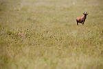 Leopard in Serengeti just failed to hunt a Topi calf