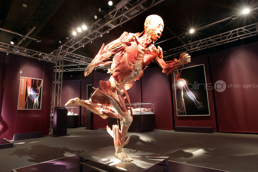 NO FEE PICTURES.1/2/12 A human body at the opening of The Human Body Exhibition—an all new exhibition featuring more than 200 full and partial real human body specimens, makes its world debut at The Ambassador Theatre this Spring. This incredible exhibition showcases carefully dissected specimens to provide a window into the miraculous way the body functions and gives visitors the opportunity to see exactly what lies beneath their skin. The Human Body Exhibition today Thursday 02 February, 2012 at The Ambassador Theatre for a limited engagement. Picture:Arthur Carron/Collins