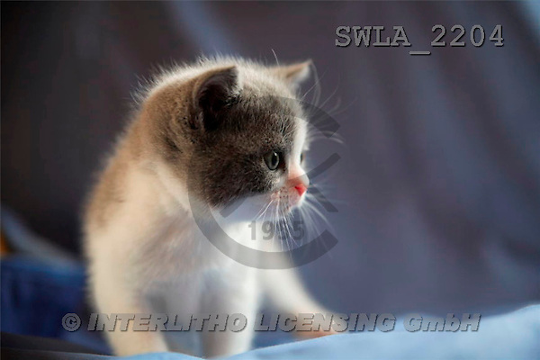Carl, ANIMALS, photos(SWLA2204,#A#) Katzen, gatos