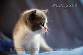 Carl, ANIMALS, photos(SWLA2204,#A#) Katzen, gatos