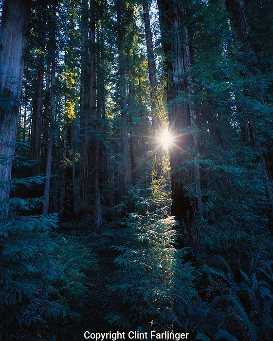 sun shining through redwoods in Stout Grove, Jedediah Smith Redwoods State Park, California