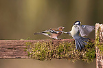 Robin and great tit take on a chafinch by Paul Sawer/Photoshot