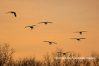 00754-02614 Snow Geese (Anser caerulescens) landing on wetland at sunrise Marion Co. IL