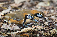 A pair of Greater Necklaced Laughingthrush (Garrulax pectoralis) foraging on the forest floor.  (Kaeng Krachan, Thailand)
