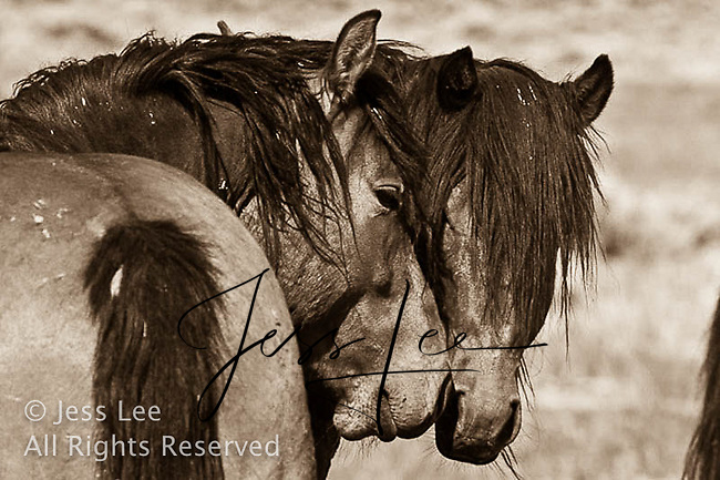,MustangsMcCullough Peaks Mustangs Wild Horse Photography by western photographer Jess Lee. Pictures of mustangs in the West. Fine art images,Prints,photos Wild horse photo,wildhorses in the american west,