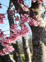 Stock photo - Pink cherry blossom stems hanging from above the tree, with bark seen in background.