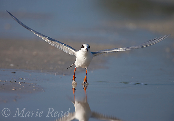 Forster's Tern (Sterna forsteri) nonbreeding plumage, taking flight, Fort De Soto Park, Florida, USA