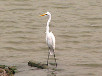 Great Egret standing in lake water