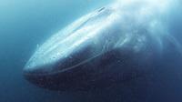 blue whale, Balaenoptera musculus, feeding on Krill, California, USA, Pacific Ocean