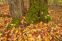 Tree and autumn leabes near Oxtongue River<br />