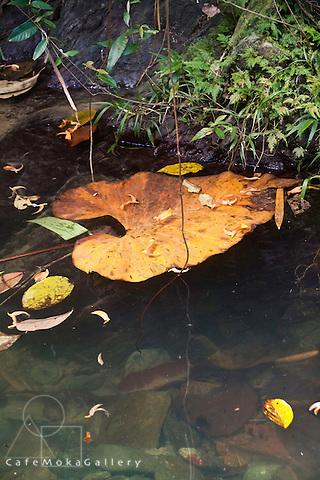 Heart shaped leaf floating - beauty in destruction, Tobago