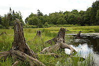 Woodford, VT, USA - August 18, 2007: Tree stumps in a beaver pond ecosystem atop the Green Mountains of southern Vermont.