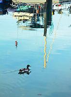 A Mallard duck swims through the marina in Port Washington, Wisconsin.