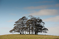 Copse of trees, Wigglesworth, North Yorkshire.
