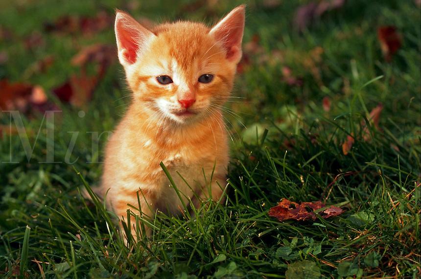 Four week old kitten sitting in grass.
