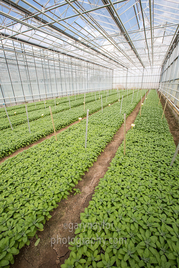 Stock flower plants grwing under glass - Lincolnshire, April