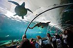 The Sydney Aquarium located in Darling Harbour  in downtown Sydney, features Australian aquatic life. Picutred here is the popular shark exhibit where rays, sharks, turtles and other sea life swim above as one walks through a clear, acrylic tunnel.
