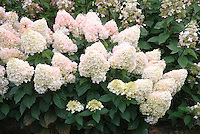 Hydrangea paniculata 'Pee Wee' in summer bloom