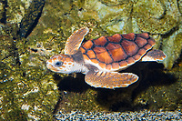 Loggerhead Sea Turtle ( Caretta caretta ) (c) Juvenile