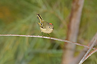 554800019 a wild adult ruby-crowned kinglet regulus calendula perches on a small plant stem flaring its red topknot feathers in the northern mojave desert in califonria