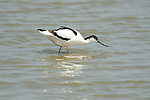 Avocet, Recurvirostra avosetta, Elmley Marshes, Kent, UK, wading in water feeding, long up-curved beak