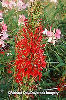 63821-018.05 Cardinal Flower (Lobelia cardinalis)    IL