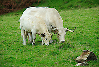 White Park cow and calf, Llandeilo, Wales....Copyright..John Eveson, Dinkling Green Farm, Whitewell, Clitheroe, Lancashire. BB7 3BN.01995 61280. 07973 482705.j.r.eveson@btinternet.com.www.johneveson.com