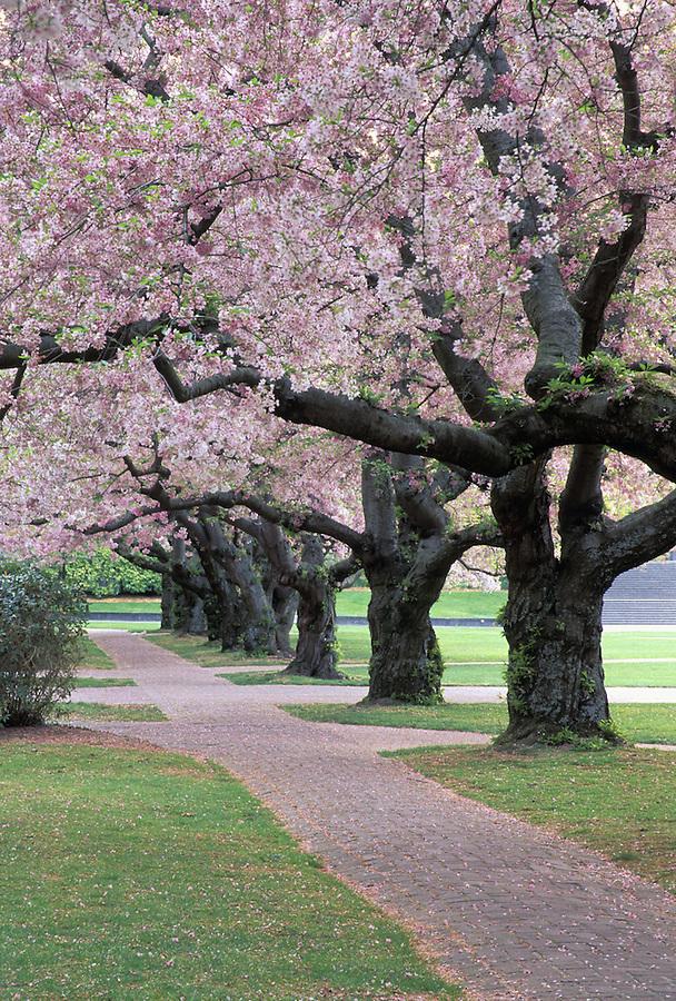 Brick trail through grove of blossoming cherry trees, University of Washington, Seattle, Washington