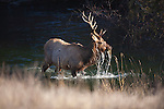 Bull elk feeding on underwater plants in a stream in Montana