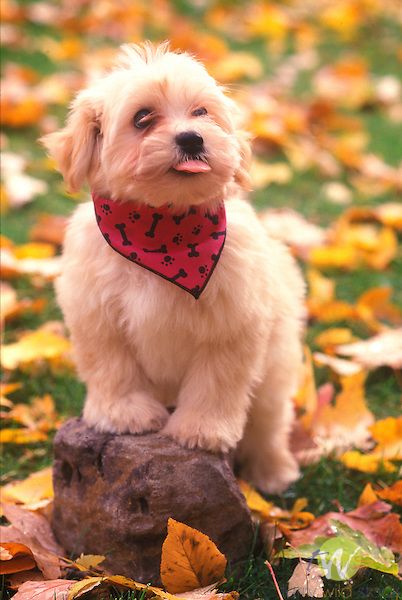 Havenese puppy, outdoors in the Fall