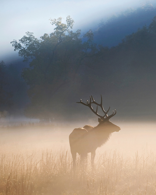 """CATALOOCHEE ELK"" -- A mature bull elk in the fog in the Cataloochee Valley of Great Smoky Mountain National Park. Photographed at sunrise in western North Carolina."