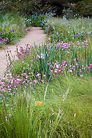 Red Fescue, Festuca rubra grass and Checkerbloom (Sidalcea) and Iris wildflowers in spring Meadow garden, Menzies California native plant garden