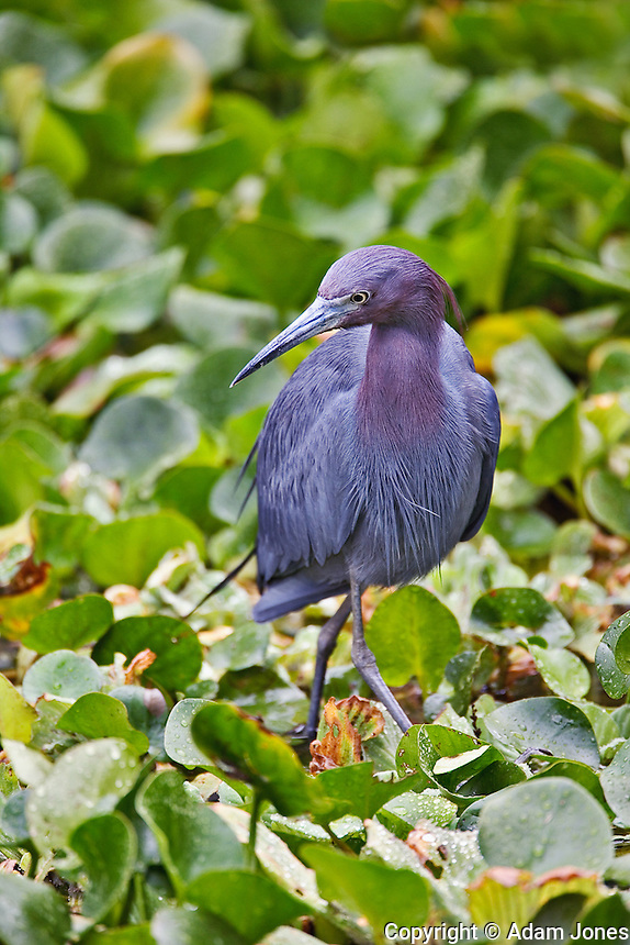 Little Blue Heron, Egretta caerulea, Corkscrew Swamp Sanctuary, near Naples, Florida